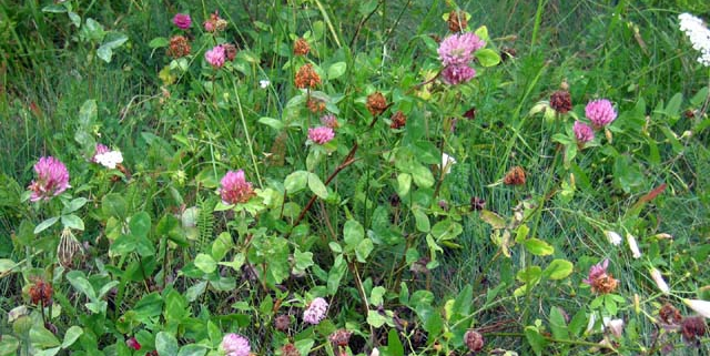 Red Clover Patch