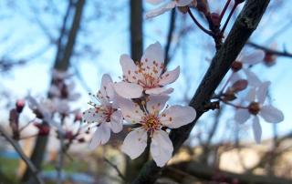 Blossom-SpringridgeCommon-Fernwood-NRG-Victoria
